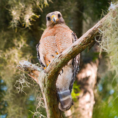 Red-shouldered hawk perched on a branch