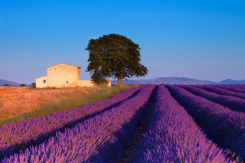 Purple lavender field in Provence, South of France