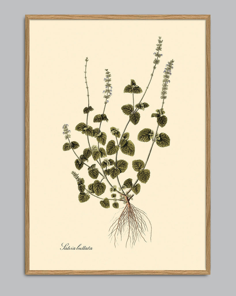 The Dybdahl Co - Salvia Bullata Plakat 30x40cm - Norway Designs