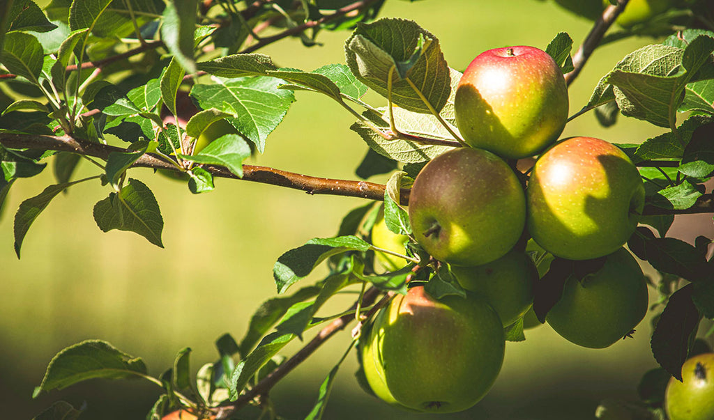 Apples on tree ready for harvest