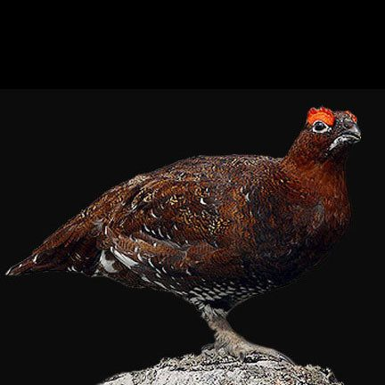 Red Grouse - SOLEX CATSMO FINE FOODS