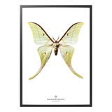 Hagedornhagen Butterfly Art Print -  'New Collection S15'