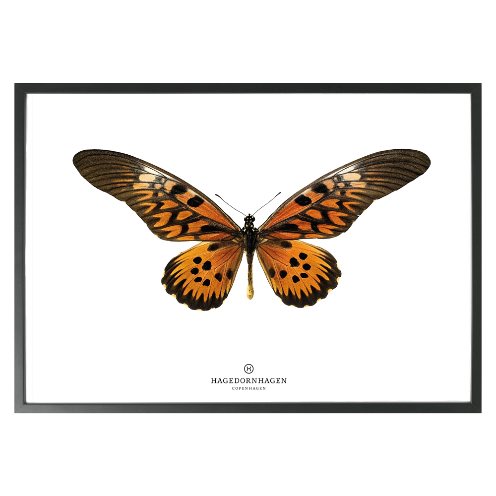 Hagedornhagen Butterfly Art Print -  'New Collection S16'