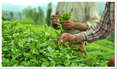 These Are Our Loose Leaf Tea Education Posts From Hackberry Tea