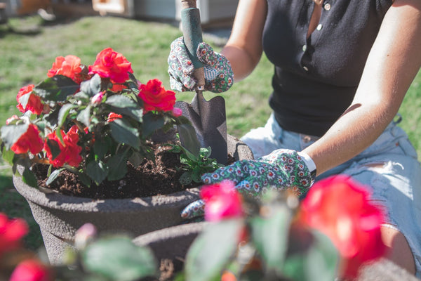 Woman gardening and planting red flowers into a plant pot