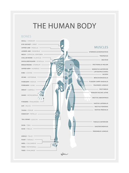 Human skeleton & muscles poster decal - Teal minimalist