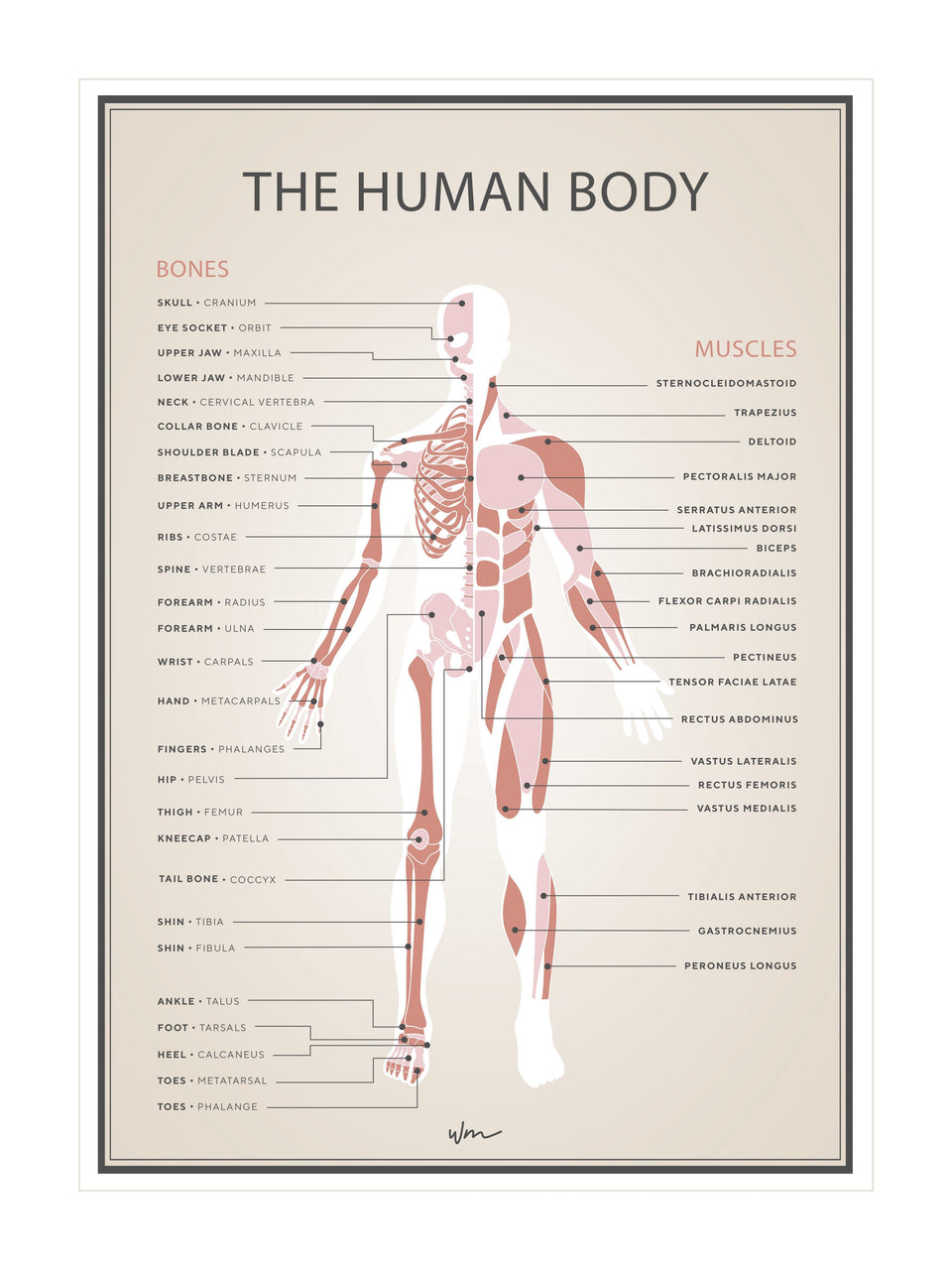 Human skeleton & muscles poster decal - Coral vintage look