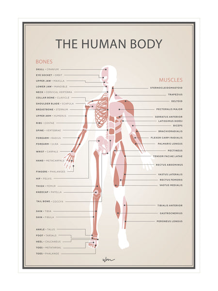 Human skeleton & muscles poster decal - Vintage look - Several colours