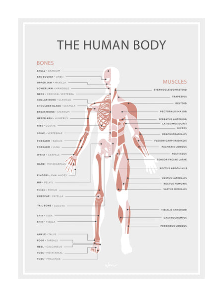 Human skeleton & muscles poster decal -  minimalist - Several colours