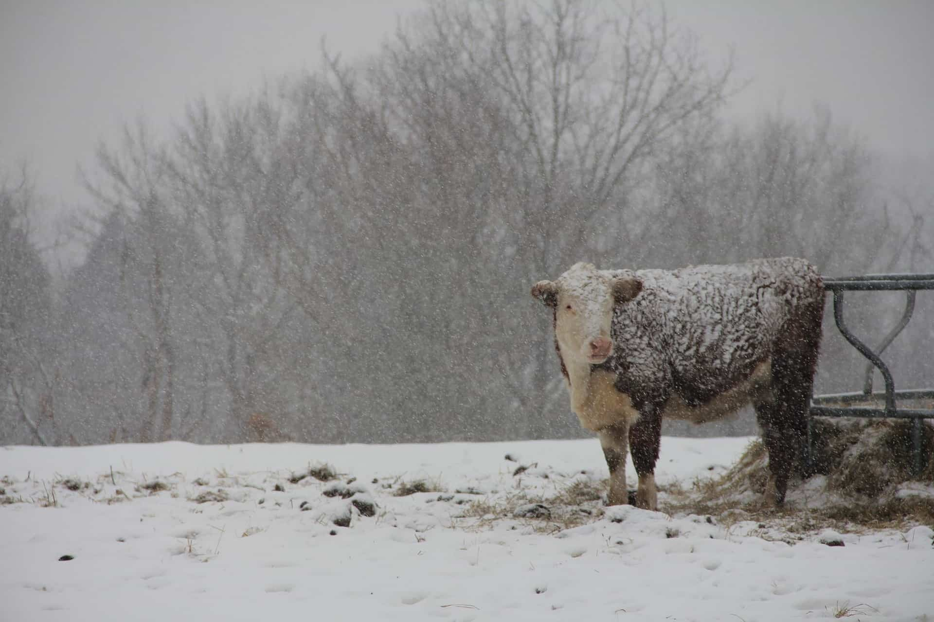Cattle-Hypothermia