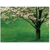 Beautiful flowering spring tree honors a death or is blank.