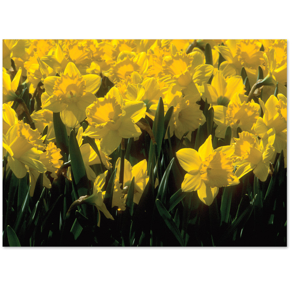 "Daffodils note cards are blank or say ""Thank You"""