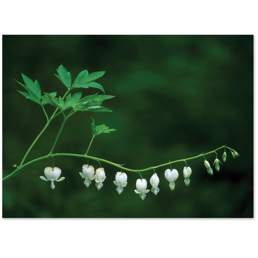 Lovely white bleeding hearts express sympathy or are blank.
