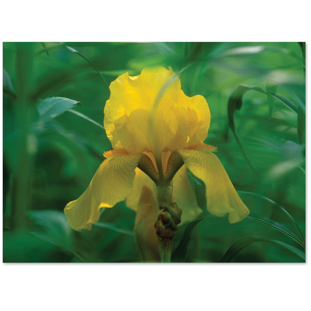 "Lovely yellow iris says ""thinking of you"" or blank inside."