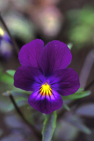 Blue Elf Viola - <i>Viola sp.</i>