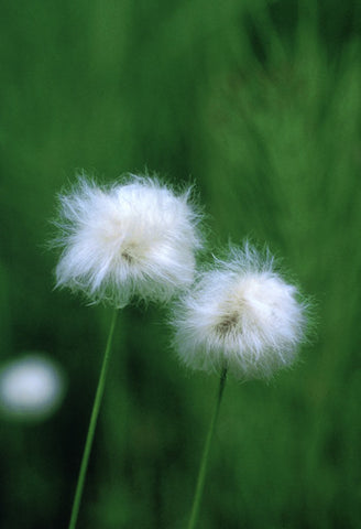 Cotton Grass - <i>Eriophorum sp.</i>
