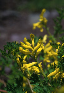 Golden Corydalis