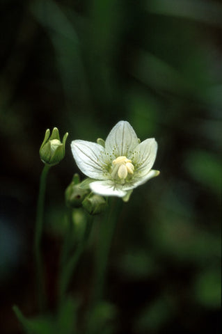 Grass of Parnassus - <i>Parnassia palustris</i>