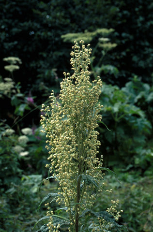 Mountain Wormwood - <i>Artemisia tilesii</i>