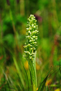 Northern Green Orchid