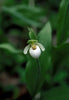 Northern Lady's Slipper
