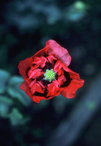 Red-Purple Poppy - <i>Papaver somniferum</i>