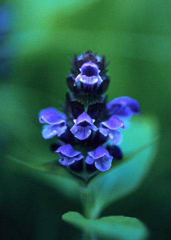 Self-Heal - <i>Prunela vulgaris</i>