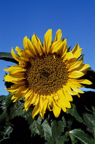 Sunflower - <i>Helianthus annuus</i>