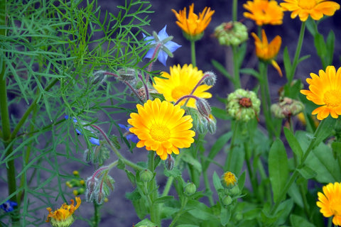 Active Ingredient | Ontario Calendula