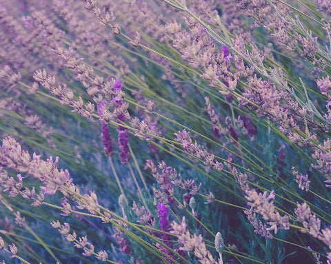 Active Ingredient | Lavender