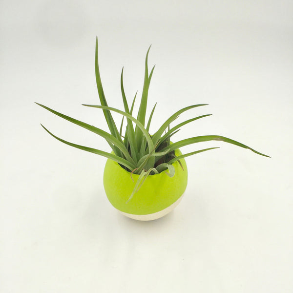 Air Plant - Dipped Pod - Lime Green