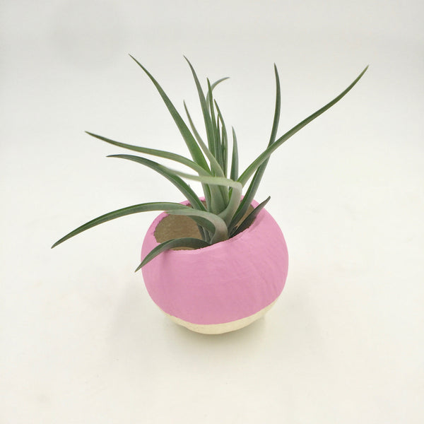 Air Plant - Dipped Pod - Pink