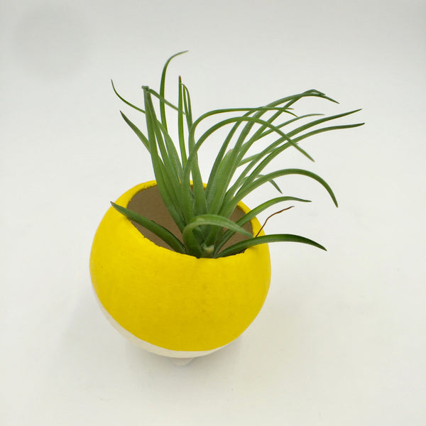 Air Plant - Dipped Pod - Yellow