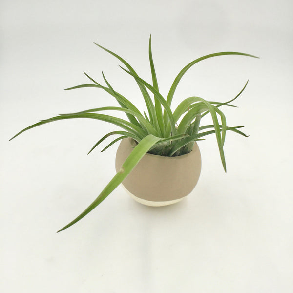 Air Plant - Dipped Pod - Taupe