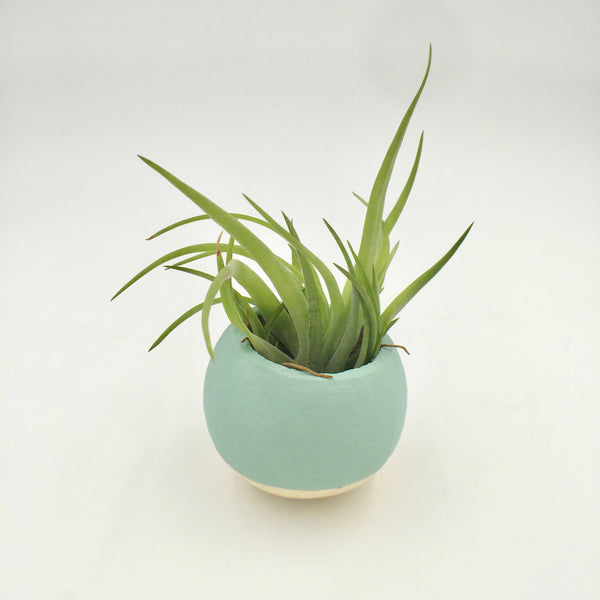 Air Plant - Dipped Pod - Mint