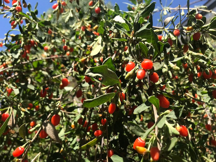 Goji berries grown in San Diego
