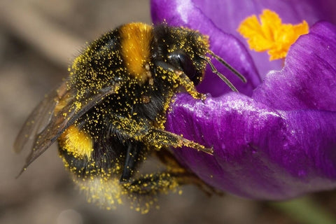 Bumble bee on flower with pollen