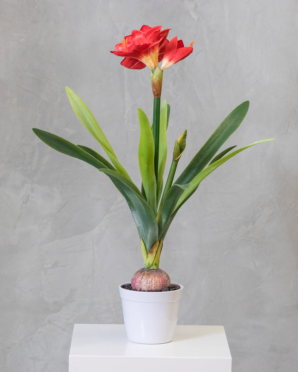 "34"" Amarillys Plant with Red Flower on Pot - Tropics Collection"