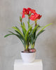 "32"" Amarillys Plant with Red Flowers on Pot - Tropics Collection"