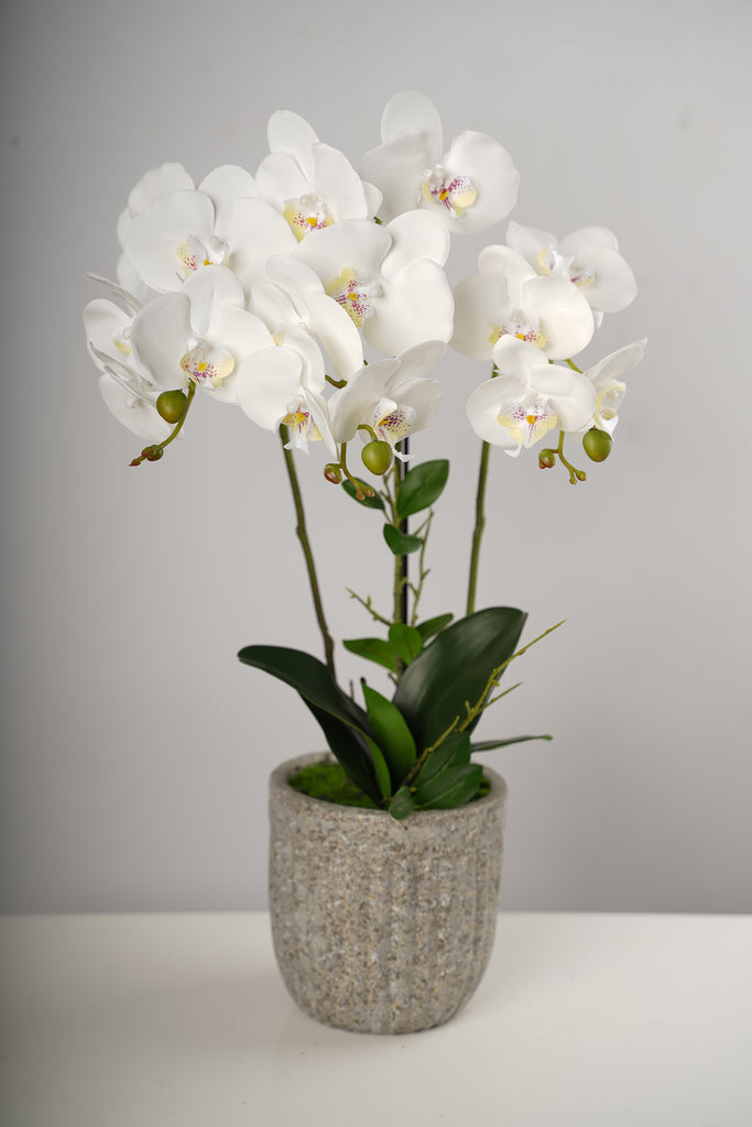 "26""LG  Triple White Beauty Orchid on Cement Pot-Belleza Collection"
