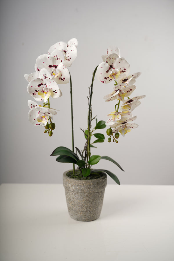 "23"" LG Single Dots Beauty Orchid on Cement Pot-Belleza Collection"