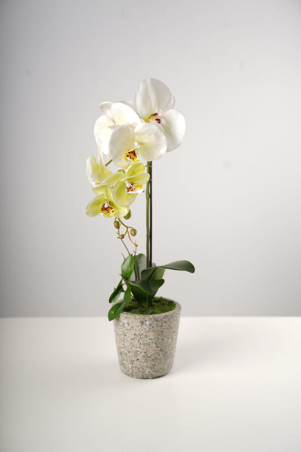 "21"" Single Natura  Beauty Orchid on Cement Pot-Belleza Collection"