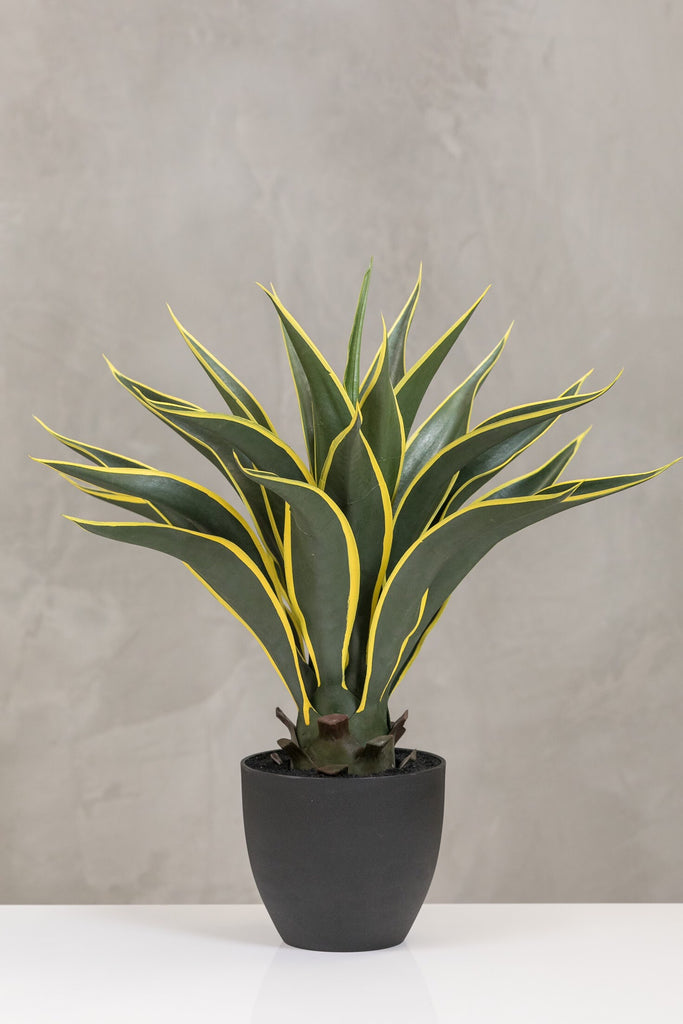 "24"" Agave Attenuata Plant in Pot - Coco's Plantation"