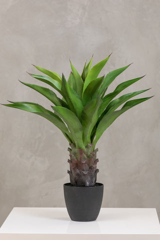 "33"" Agave Attenuata Plant in Pot Too - Coco's Plantation"