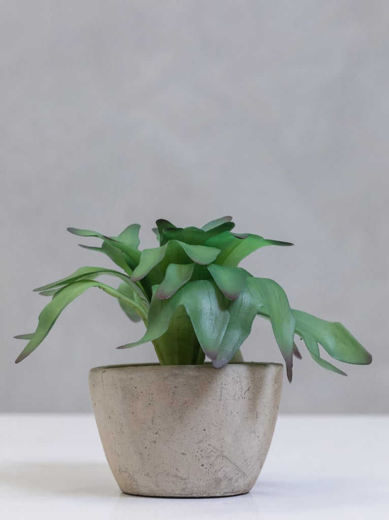 "9"" Staghorn Fern on Pot - Cacti Collection - Casa Febus - Home • Design"