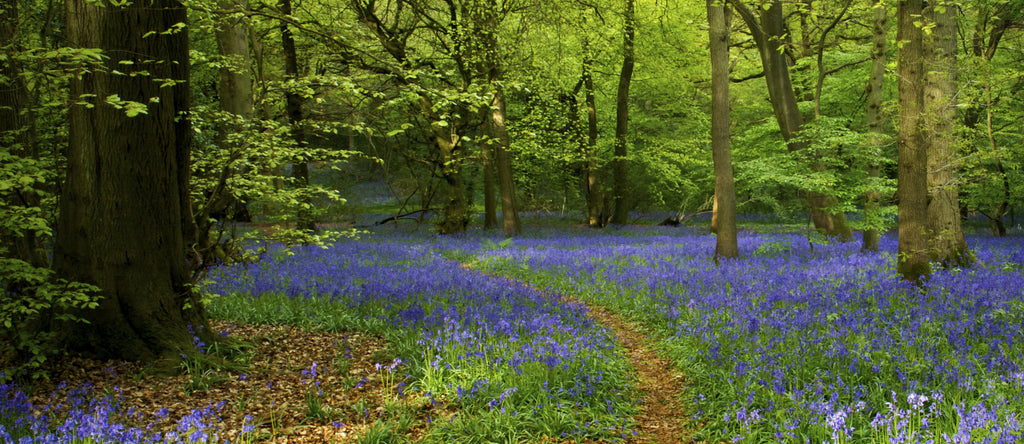 Clearing with bluebells amid trees