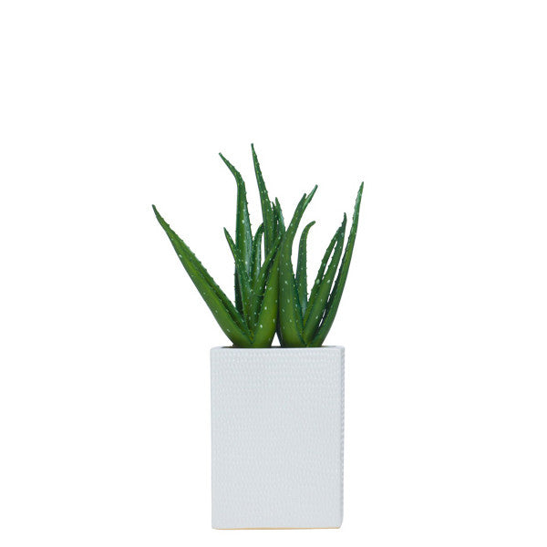 Aloe in Tall White Container