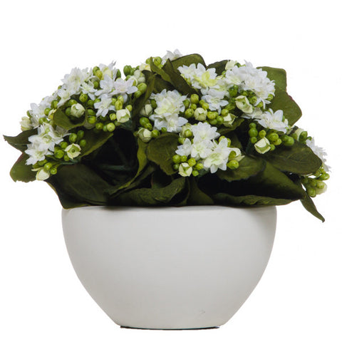 Kalanchoe in White Pot White