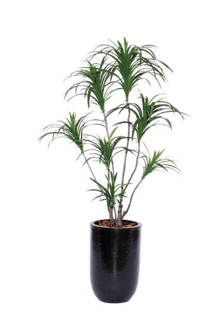 5' DRACENA IN BLACK CERAMIC POT