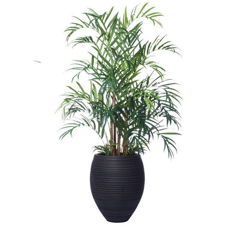 8.5' KENTIA PALM IN LARGE HONEY POT